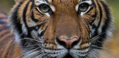 New York'ta hayvanat bahçesindeki kaplan da Korona virüs çıktı