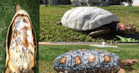 Kabuğu Kırılan Kaplumbağaya Yeni Kabuk