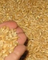 Buğday Üreticileri Alım Fiyatından Memnun Değil