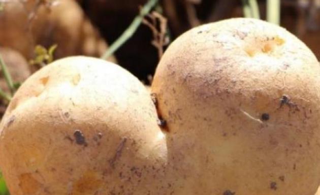Hasad Başladı Kalp Şeklinde Patates Tarlada İlgi Odağı Oldu