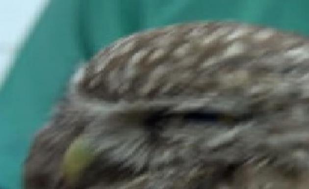 Sol Kanadından Yaralanan Baykuş Tedavi Edildi