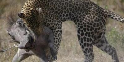 Aç Leopar 2 Domuza Saldırdı