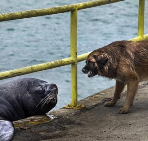 Deniz Aslanı ve Köpek İskelede Balık İçin Kapıştı