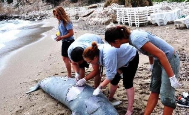 Sisam Adasında Akdeniz Fokunu Öldürdüler