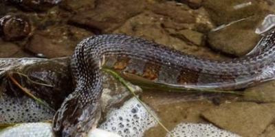 Kiloluk Balığı Avlayan Yılan