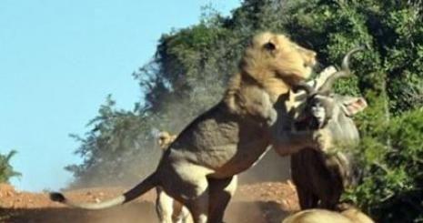 Dört Aslan Antilopu Yakalamak İsterse