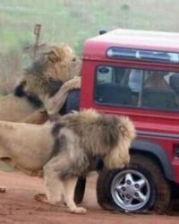 Aslanları Çok Yakından Görüyorlar