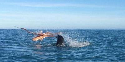 Ahtapot ile Fok Balığının Mücadelesi