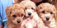 Toy Poodle yavrusu ve toy poodle fiyatları